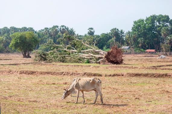 Siem Reapin maaseudulla levittäytyvät kuivuudesta halkeilevat riisipellot. Niillä laiduntavien lehmien kylkiluut kuultavat nahan läpi.